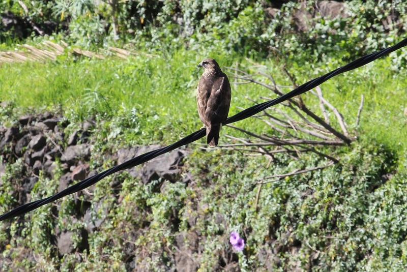 Buteo buteo insulatum, Canary island buzzard, (NL: Canarische buizerd), between Chejelipes and La Laja