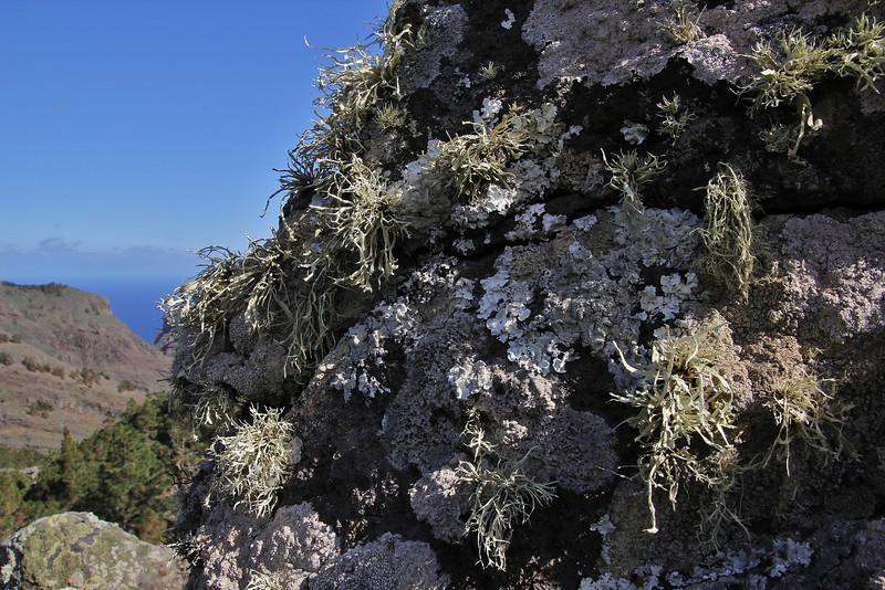Ramalina cf cupularis (hairy) and Parmotrema spec (leafy), Valle Abajo, 620m, 4x4 road E of Enchereda 1065m