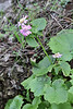 Pericallis steetzii, Bosque de Tejos
