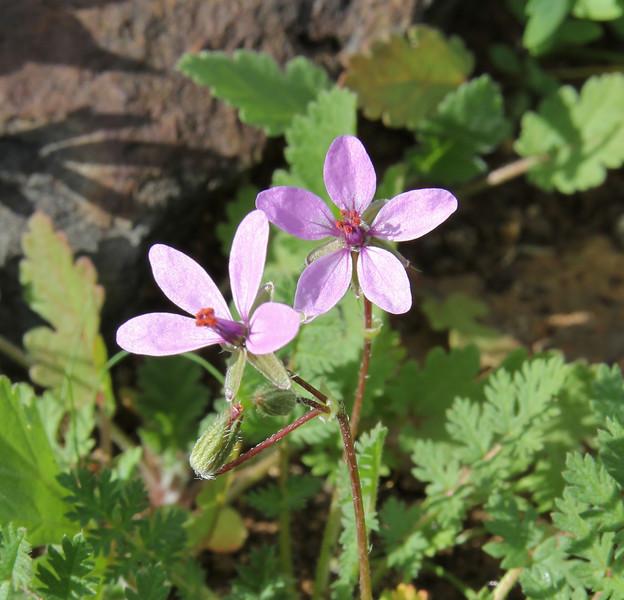Erodium cicutarium, Loma del Carmello, SW of San Sebastian (J)
