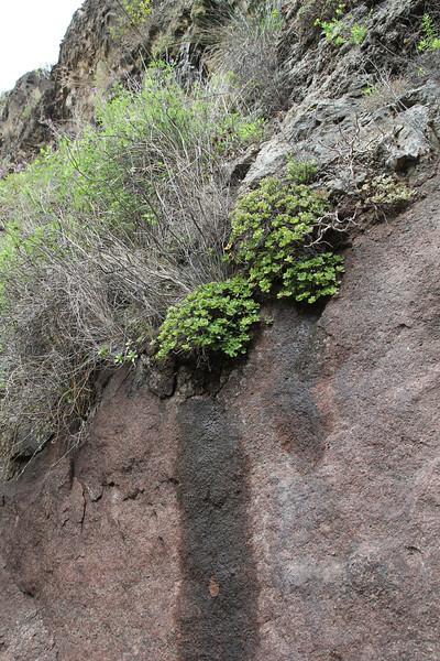 Aeonium saundersii, 600m (Red list species) Embalse  Izcague, between Chejelipes and  La Laja