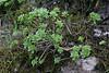 Aeonium spathulatum var. spathulatum, Bosque de Tejos