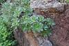 Aeonium decorum, E of San Sabastian near Punta de La Vaca (F)