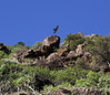 Buteo buteo insularum, Buzzard (Canary Islands)between Vallehermoso en Playa de Vallehermoso (R)