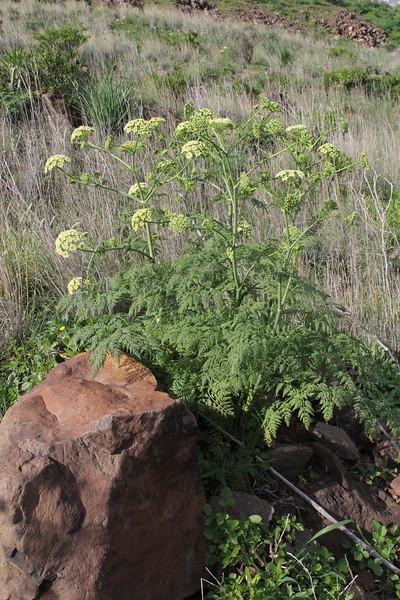 Pimpinella junoniae or Todaroa aurea ssp. suaveolens, Loma del Carmello, SW of San Sebastian