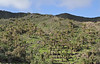 Phoenix canariensis, Palo Atravesado 600m, 4x4 road NE of Enchereda 1065m