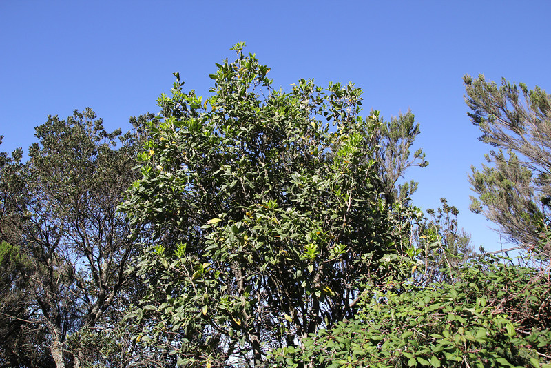 Picconia excelsa - note the opposite leaves, which suggest Oleaceae, near the well/spring, Chorros de Epina, Epina (Q)