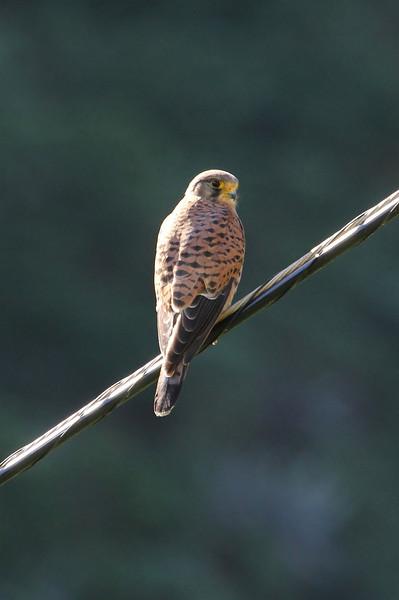 Falco tinnunculus canariensis, (NL: Canarische torenvalk), between Chejelipes and La Laja
