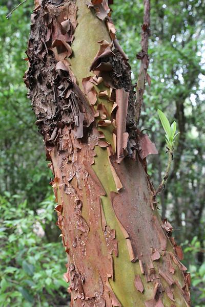 Trunk and bark of Arbutus canariensis, Primeval forest with 'Arboretum' Red de Equipamientos, 'Meriga' (nabij Los Aceyinos)