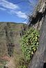 Sideritis nutans, Barranco de Matanza between Valle Gran Rey and El Cercado (N)