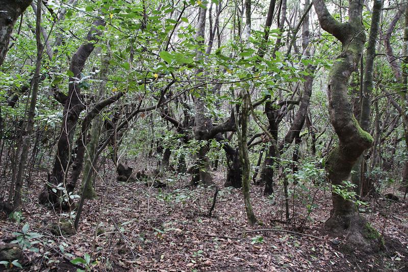 Primeval forest with 'Arboretum' Red de Equipamientos, 'Meriga' (nabij Los Aceyinos)