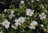 Cistus monspeliensis , Valle Abajo, 620m, 4x4 road E of Enchereda 1065m