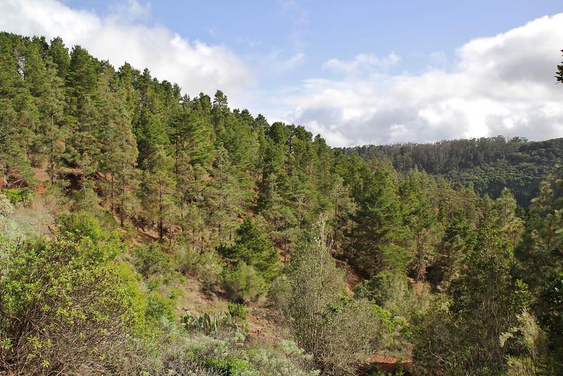 Pinus canariensis and laurel woodland, N of Parque Nacional de Garajonay, 2km S of centro de Vistantes in Hormigua (W)