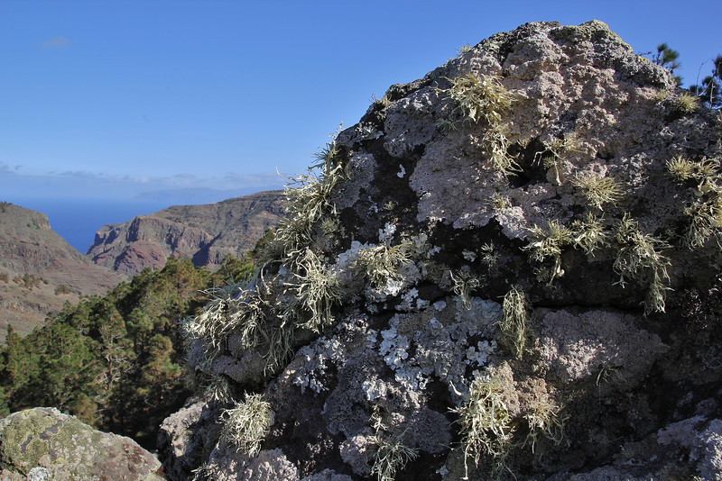 Ramalina cf cupularis (hairy) and Parmotrema spec (leafy), Valle Abajo, 620m, 4x4 road E of Enchereda 1065m