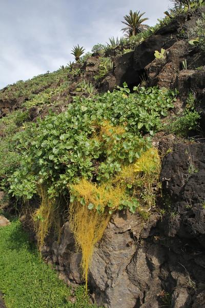 Cuscuta planiflora on Rumex lunaria, Bindweed, TF-713, W of San Sebastian