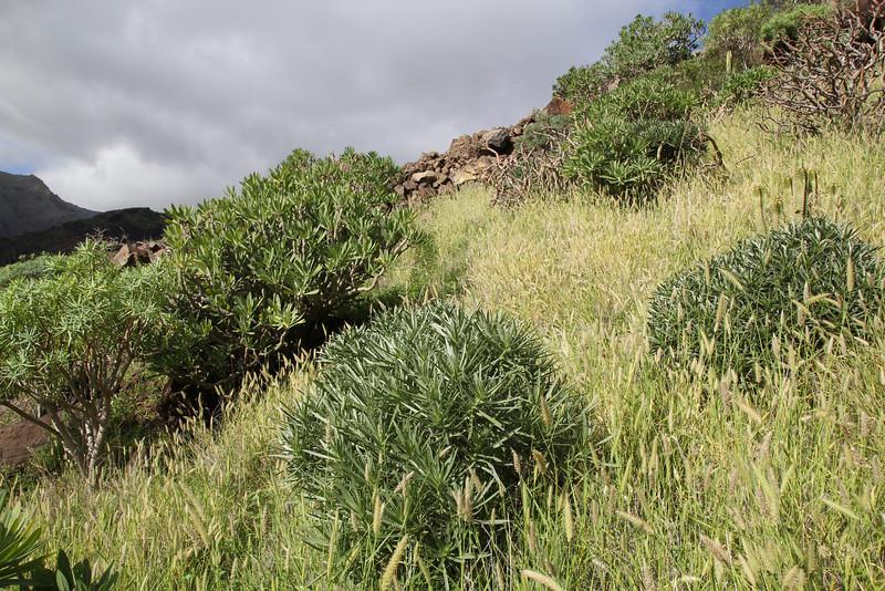 Echium aculeatum??(white flowers). Los Quemados, San Sebastian - Hermigua,(Y)