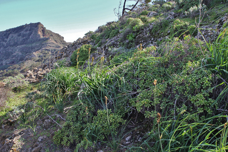 Aeonium viscatum, Valle Abajo, 620m, 4x4 road E of Enchereda 1065m (in the background)