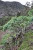 Euphorbia ??balsamifera or E. bravoana (red seed pots)or Euphorbia regis-jubae?? , Palo Atravesado 600m, 4x4 road NE of Enchereda 1065m