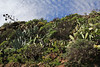 Aeonium holochrysum and Aeonium appendiculatum, 4km S of Chipude (L)