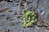 Polycarpaea carnosa, Playa de la Caleta, Atlantic Ocean