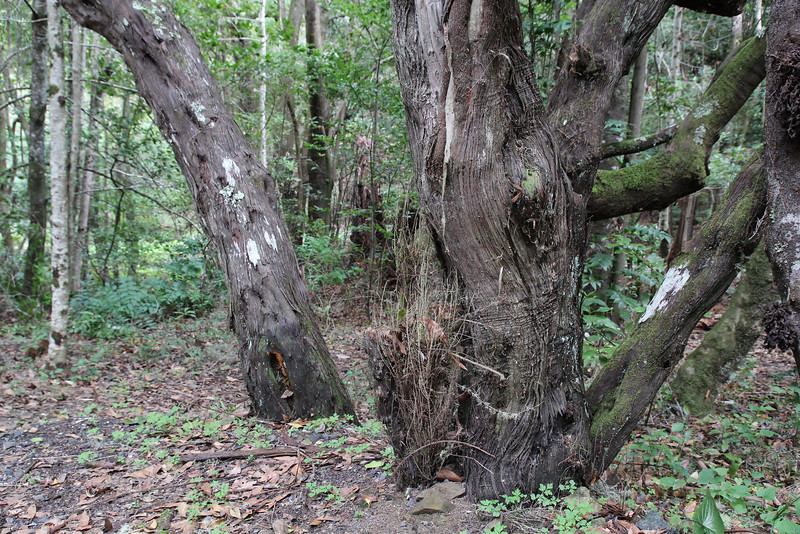 Erica arborea, Primeval forest with 'Arboretum' Red de Equipamientos, 'Meriga' (nabij Los Aceyinos)