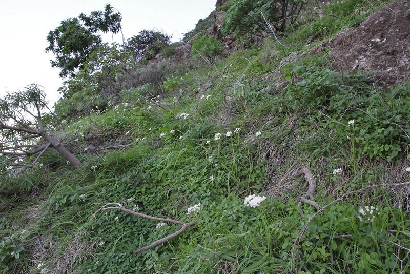 Allium roseum, W of Roque El Cano 650m, E of Vallehermoso (I)