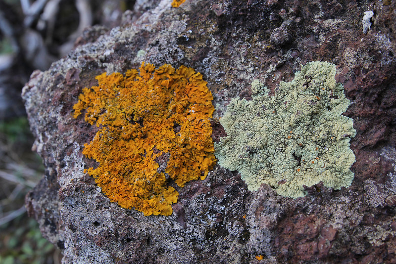 Xanthorea parietina (orange) and Caloplaca scoriophila (grey) ,E of San Sabastian near Punta de La Vaca (F)