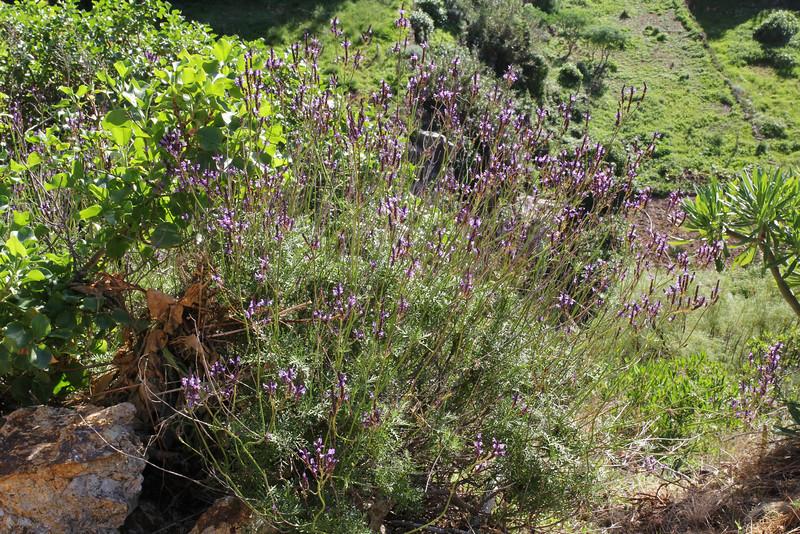 Lavandula canariensis, W of Roque El Cano 650m, E of Vallehermoso (I)