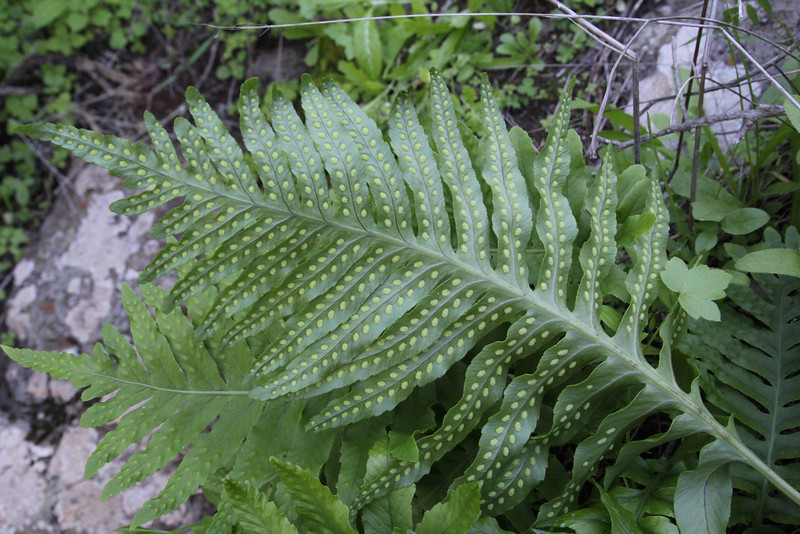 Polypodium macaronesicum, near the well/spring, Chorros de Epina, Epina (Q)