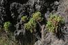 Polycarpaea carnosa, San Sebastian to Hermigua, E of tunnel de La Cumbre