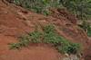 Adenocarpus foliosus, 2km S of centro de Vistantes in Hormigua (W)