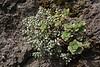 Monanthes laxiflora and Aeonium decorum ,San Sebastian to Hermigua, E of tunnel de La Cumbre