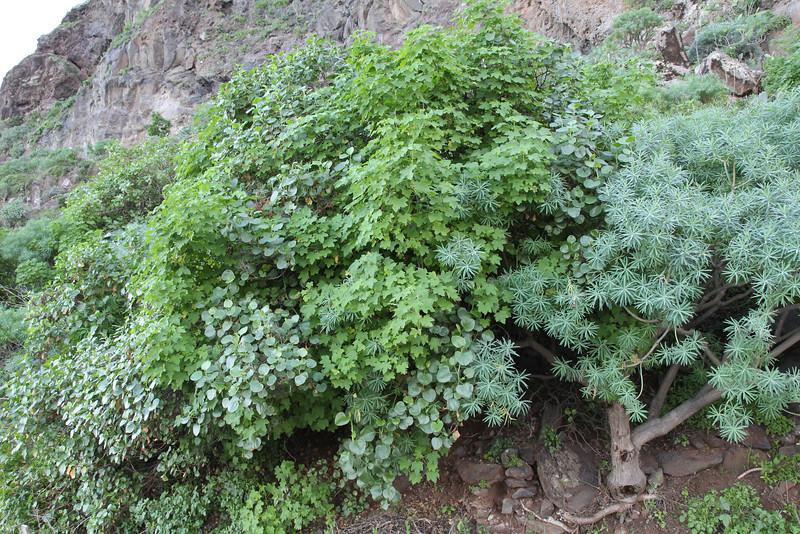 Lavatera acerifolia, just west of Agulo(I)