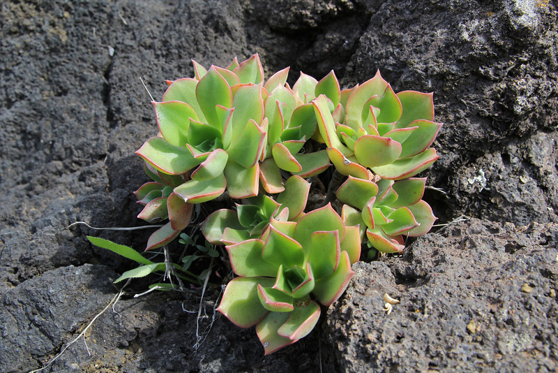 Aeonium decorum, TF-713, W of San Sebastian