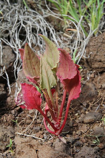 Rumex vesicarius var. rhodophysa, Los Quemados, San Sebastian to Hermigua,(Y)