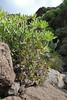 Senecio kleinia and  Aeonium decorum, Los Quemados, San Sebastian - Hermigua,(Y)