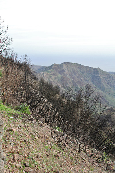 Damages of the forest fire, summer 2012, Bosque de Tejos, Parque Nacional Garajonay