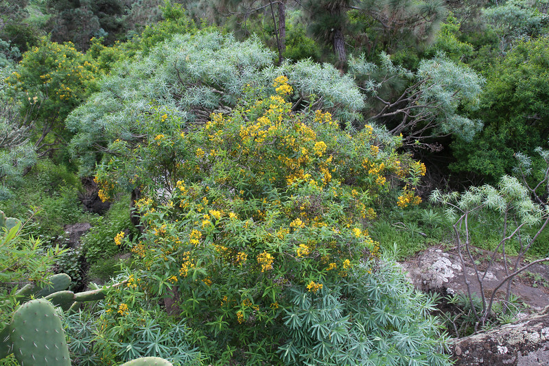 Hypericum canariensis,  NE of Hermigua, 400m, 4x4 road N of Enchereda 1065m