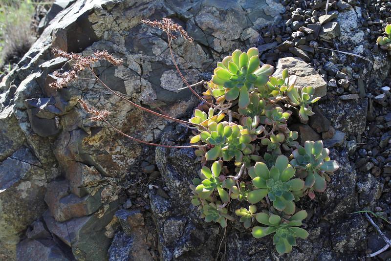 Aeonium castello-paivae, between Vallehermoso en Playa de Vallehermoso (R)