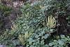 Rumex lunaria, shrubs, N facing cliffs between Las Rosas and Agulo (G)
