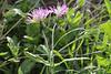 Centaurea ?, Loma del Carmello, SW of San Sebastian (J)