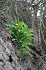 Reichardia ligulata, Palo Atravesado 600m, 4x4 road NE of Enchereda 1065m