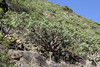 Euphorbia balsamifera, between Vallehermoso en Playa de Vallehermoso (R)