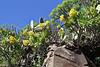 Aeonium holochrysum, 4km S of Chipude (L)
