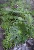 Aeonium subplanum en Polypodium macaronesicum, near the well/spring, Chorros de Epina, Epina (Q)