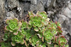 Aeonium saundersii, 600m (Red list species) Embalse  Izcague, between Chejelipes and  La Laja