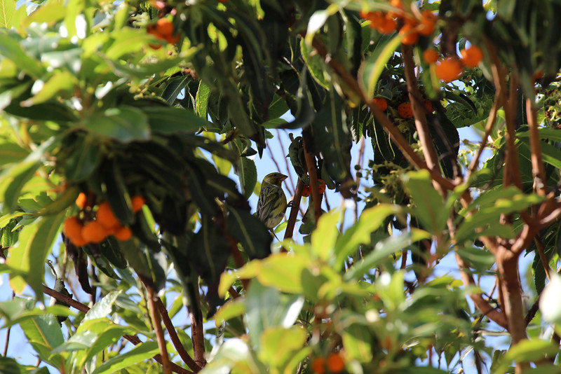 Serinus canaria, eating fruits of Arbutus canariensis, near Juege de Bolas Centro de Vistantes in Hormigua (V)