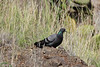 Columba livia, Rock dove, NE of Hermigua, 400m, 4x4 road N of Enchereda 1065m