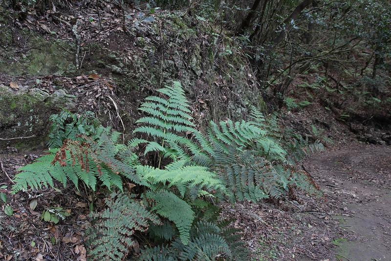 Dryopteris oligodonta, El Cedro 900m, (voor Barranco de Elcedro, Las Mimbreras