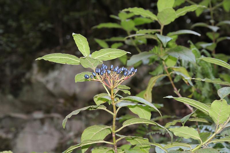Viburnum rigidum, (syn. Viburnum tinus ssp rigidum) El Cedro 900m (before Barranco de Elcedro, Las Mimbreras
